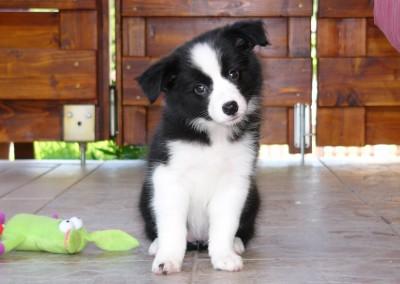 Border Collie puppy kiskutya kölyök
